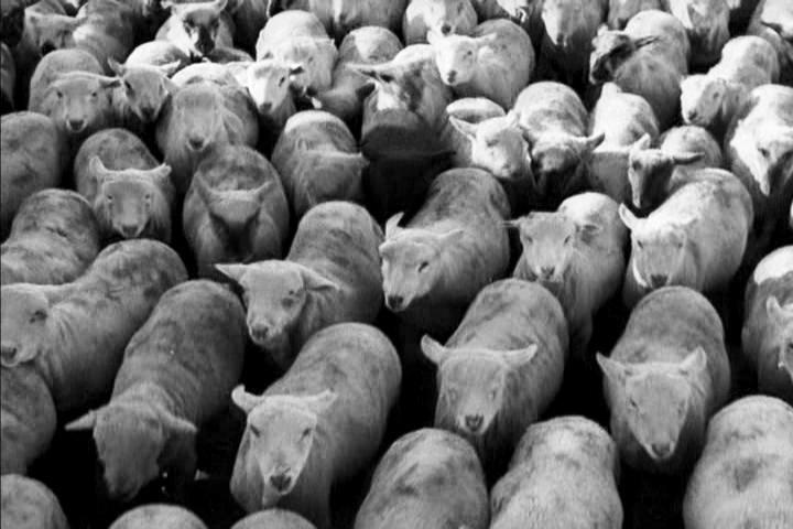"""Rebanho de ovelhas, cena de """"Tempos Modernos"""", 1936."""