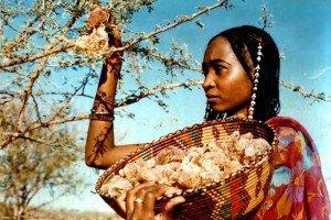 coleta de goma arabica