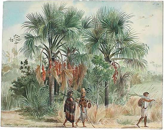 Palmeiras buritis, desenhadas em Quilombo, Mato Grosso, Adrien-Aimée Taunay, 1827.