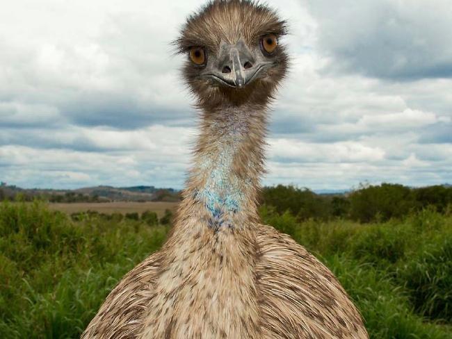 Guerra aos Emus