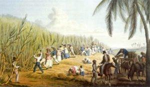 Plantação de cana de açúcar em Antigua